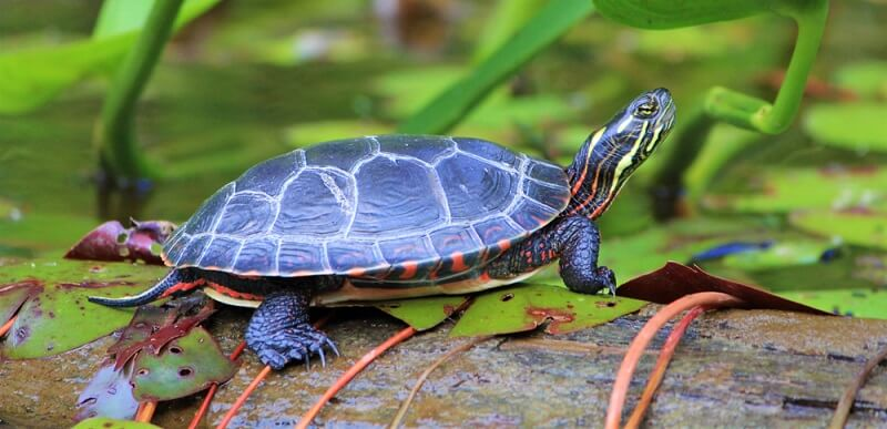 The New Angle On Is Turtle A Reptile Simply Launched
